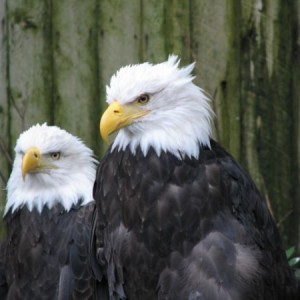 Bald Eagles At The Tribal Hatchery And Eagle Rehab