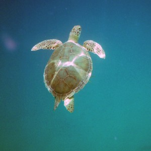 2011_03_10_St_thomas_turtle_1