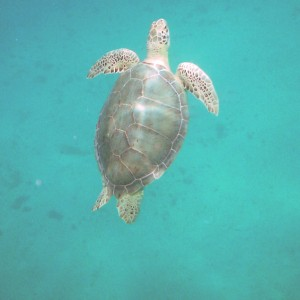 2011_03_10_St_thomas_turtle_2