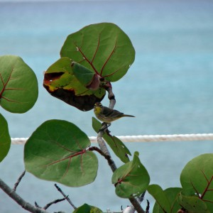 2011_03_13_Princess_Cay_Bungalow_The_bird