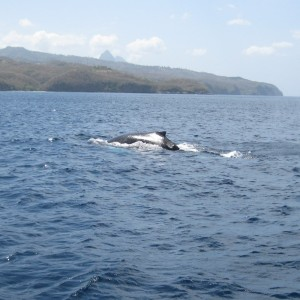 our  photo.  St. Lucia & Pitons WHALE sighting