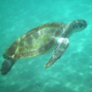 2011_03_07_Barbados_Cat_Turtle_Cruise_Turtle_2