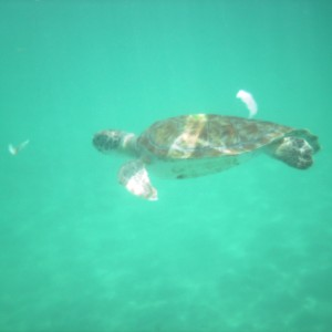 2011_03_07_Barbados_Cat_Turtle_Cruise_Turtle_3