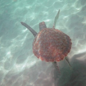 2011_03_07_Barbados_Cat_Turtle_Cruise_Turtle_4