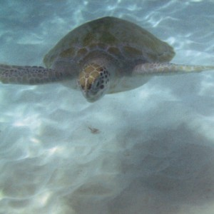 2011_03_07_Barbados_Cat_Turtle_Cruise_Turtle_5